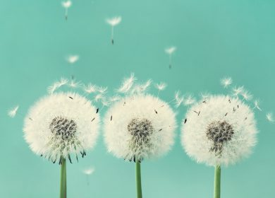Why the dandelion?