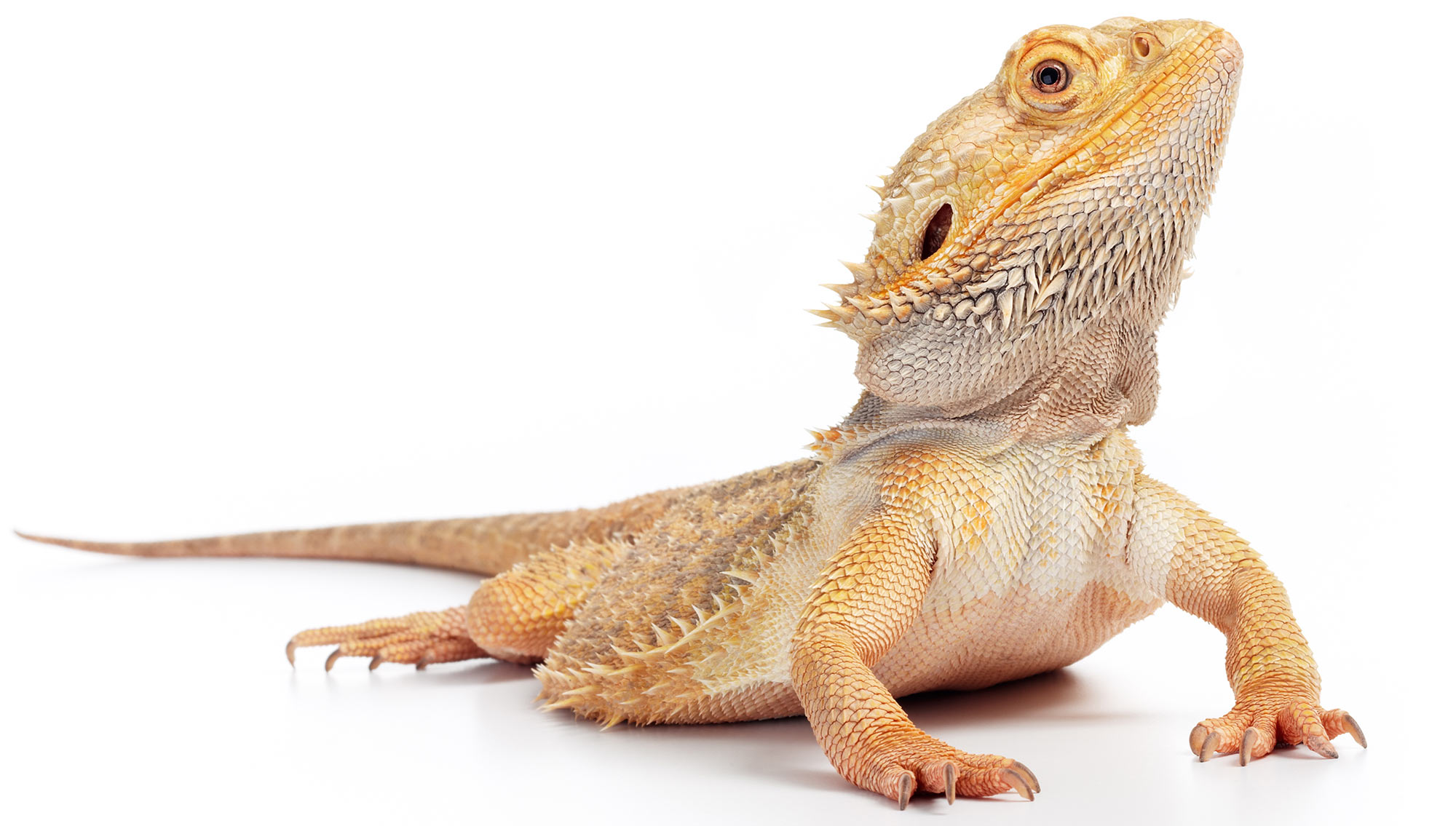 how to use stock photography effectively with a charming lizard