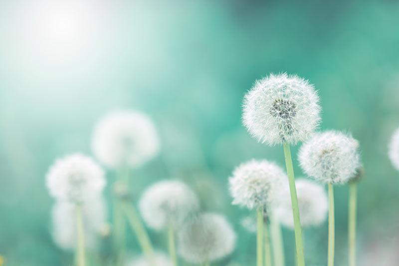 photo of green dandelion