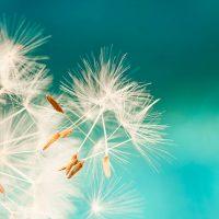 dandelion seeds on the wind